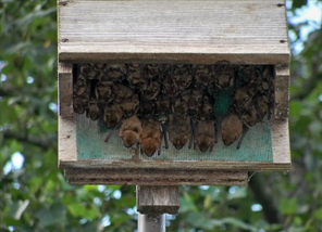 Welcome bats to your cabin this spring lake home cabin for How to make a bat house